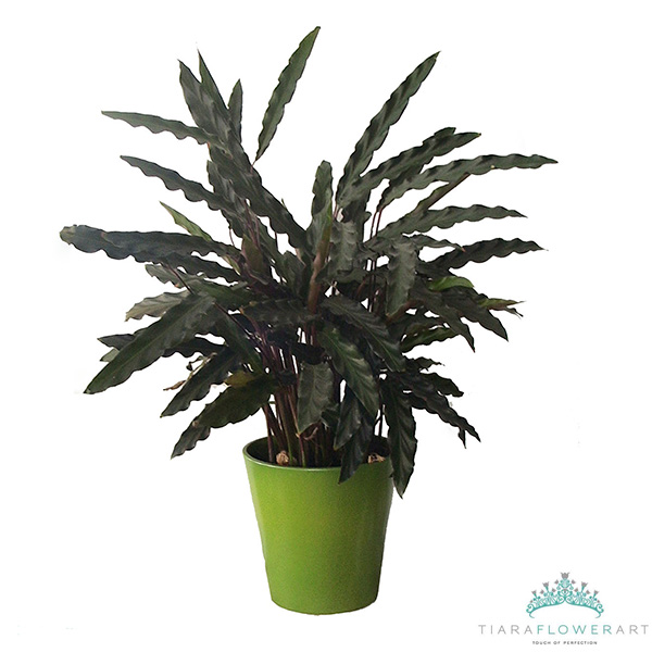 Calathea plant Tiara Flowers Cyprus