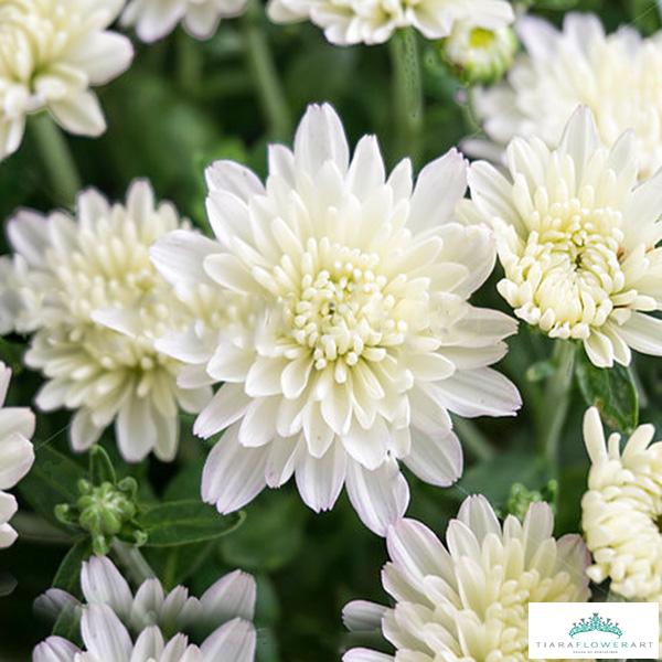 Chrysanthemum white tiara flowers cyprus chrysanthemum white mightylinksfo